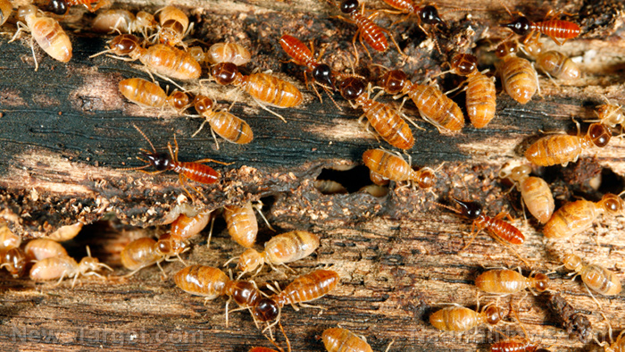 Beneficial pests? Study shows that termites can alleviate the damage that