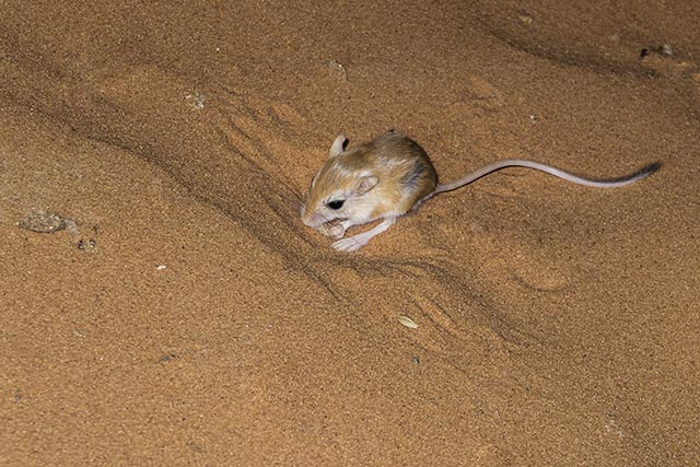"Image: Kung fu fighting in the animal world: Meet the kangaroo rat, which seemingly uses ""kung fu"" to outsmart rattlesnakes"
