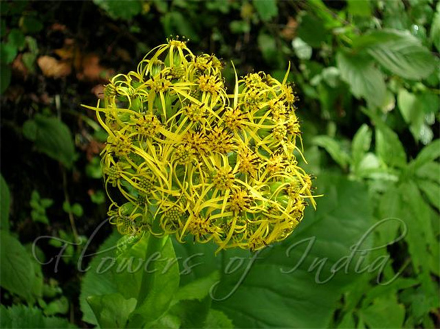 Image: Essential oil of stem clasping ligularia from the sunflower family found to have antibacterial properties