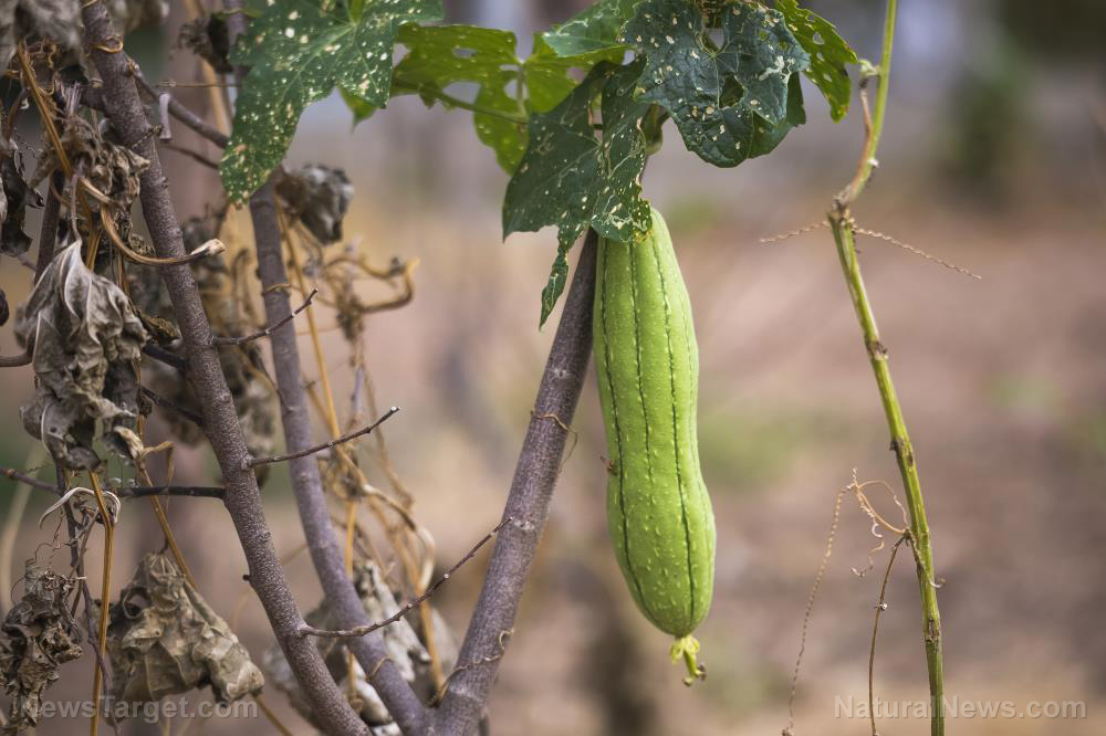 Image: The many survival uses of luffa