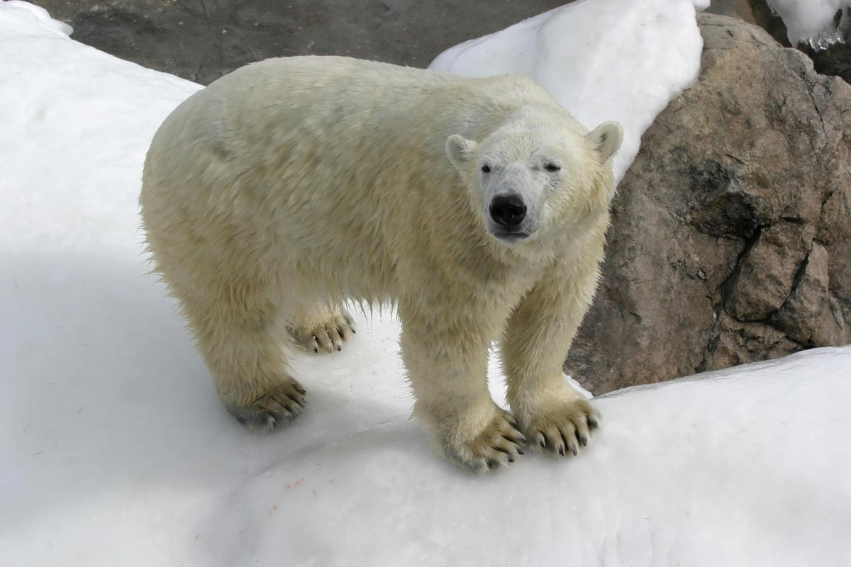 Image: Climate alarmists drop the polar bear as their mascot since polar bears are thriving, with record population numbers