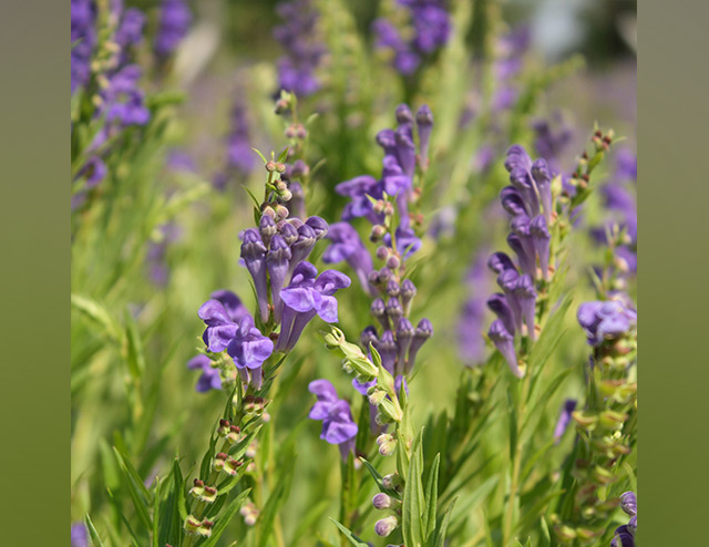 Image: The science behind herbal remedies: Study identifies the genes responsible for Chinese skullcap's health benefits