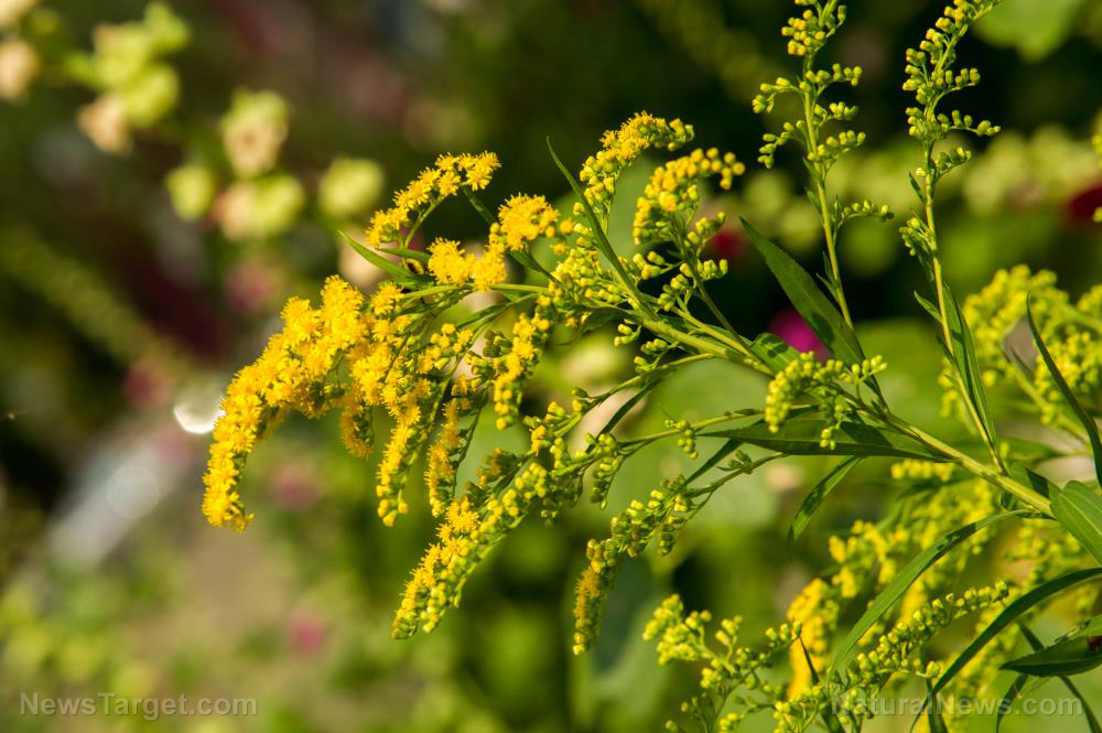 Goldenrod-Annual-Asteraceae-Beautiful-Beauty-Bloom These 5 flowering plants will attract good bugs to your garden [your]NEWS