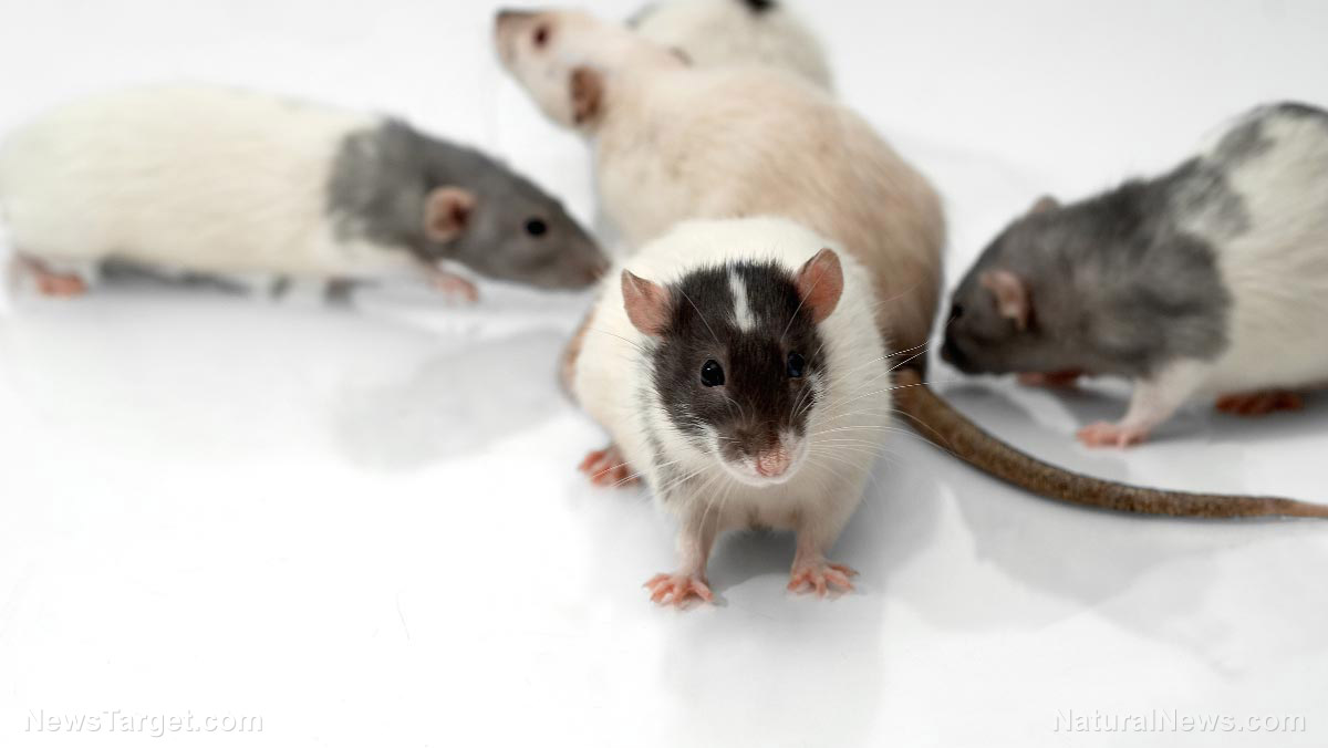 Image: Empathy is NOT unique to humans: Researchers discover that rats feel the pain of others, too