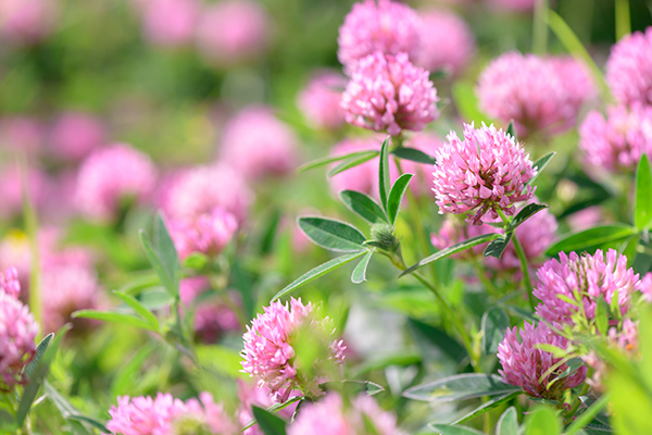 Image: Natural remedies for osteoporosis: What are the science-based health benefits of red clover?