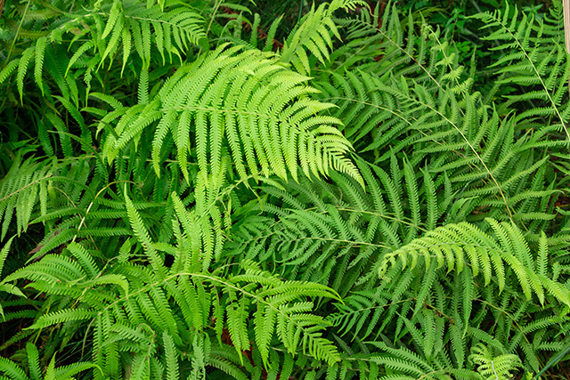 Image: Is this Chinese fern the key to preventing arsenic poisoning?