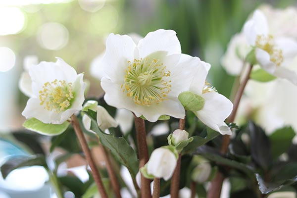 Image: Scientists explore the ability of Christmas rose to inhibit tumor cells
