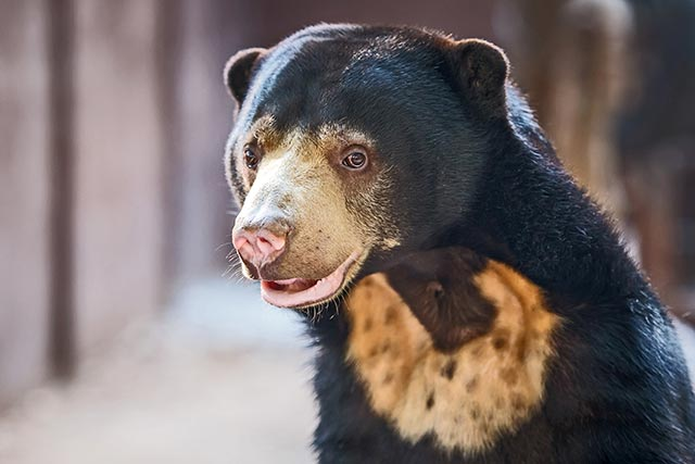 Image: Endangered bear species can mimic each other's facial expressions to communicate