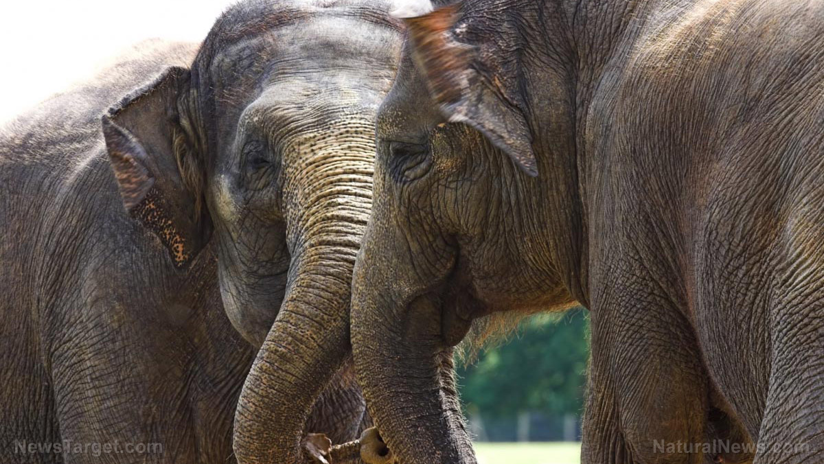 "Image: A nose for numbers: Elephants can ""count"" food using their sense of smell, study says"