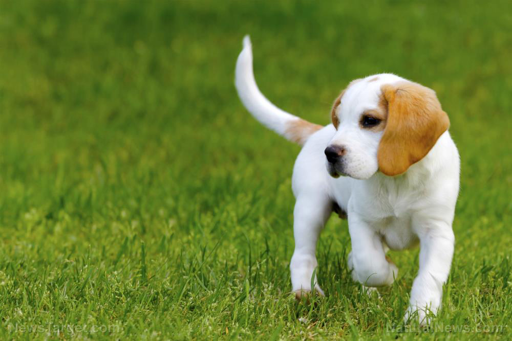 "Image: Beagles can ""sniff out"" lung cancer more accurately than ""advanced technology"""
