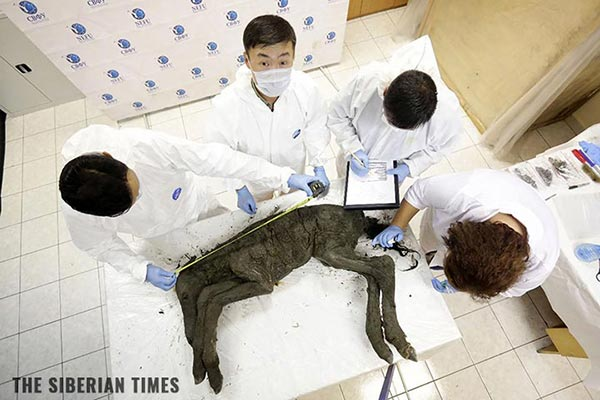 Image: Scientists dig up perfectly preserved 42,000-year-old horse – with blood and internal organs intact