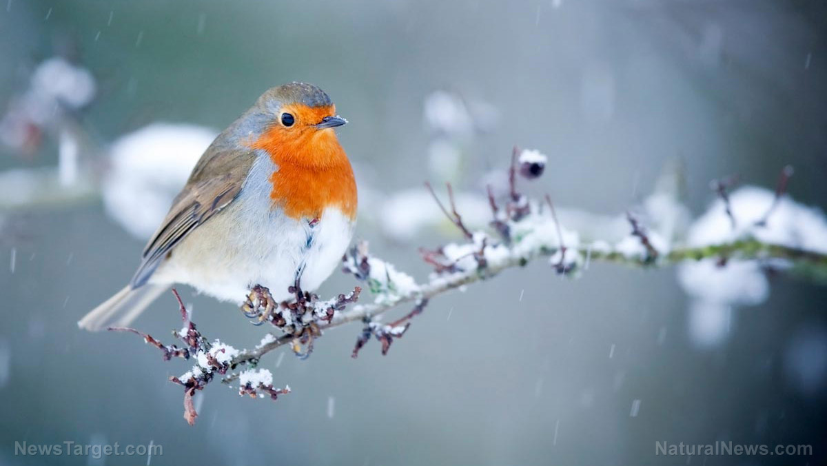 Image: Man-made noise is drowning out birdsong and potentially hurting the robin population