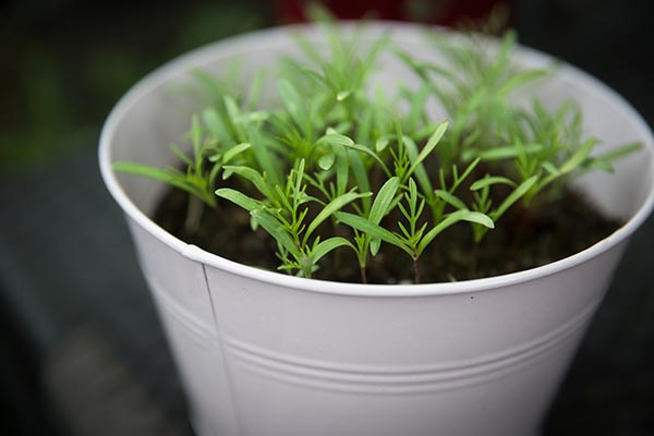 Image: Gardening 101: Ten crops you can grow in buckets throughout the year