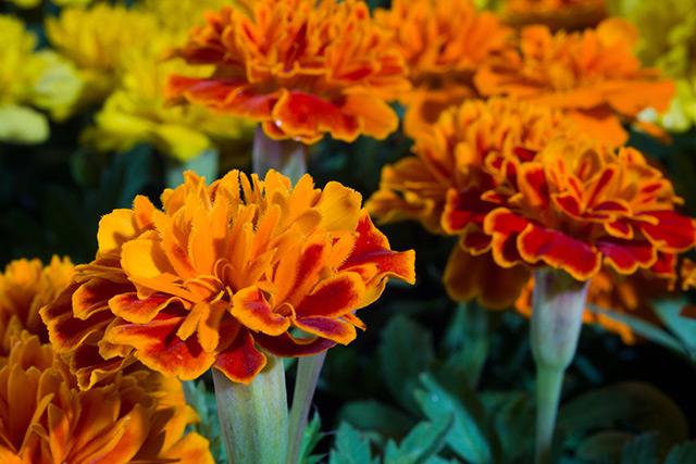 Image: Marigolds possess a natural repellent against devastating pests