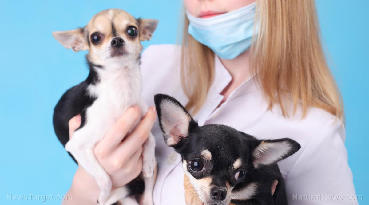 "Image: Dog breeding illness can ""potentially"" infect humans, too"