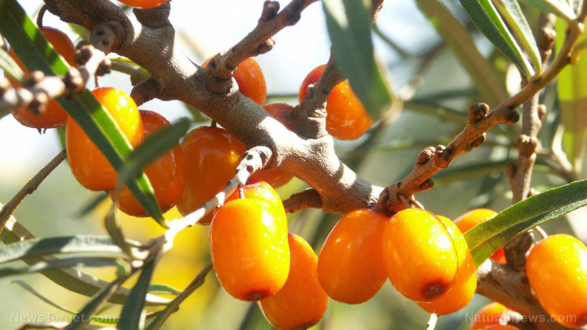 Image: Sea buckthorn leaf and twig extracts found to have antioxidant and anticoagulant activities