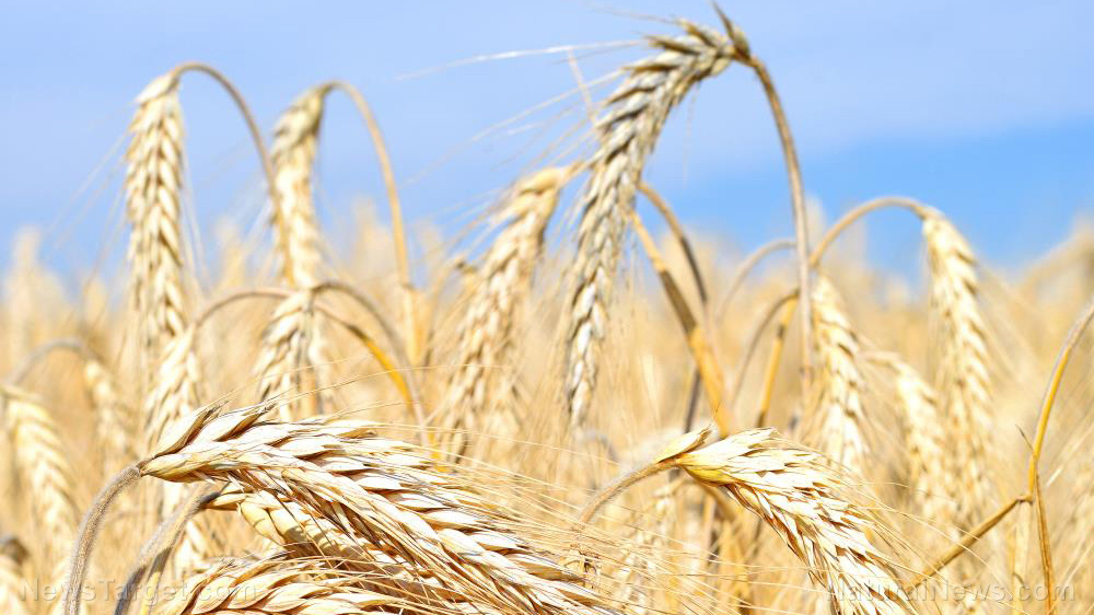 Image: Scientists say barley is a promising laxative and functional food against constipation