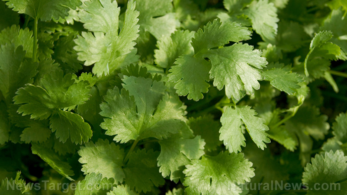 Image: Molecular mechanism explained: How cilantro helps delay seizures common in epilepsy and other neurological disorders