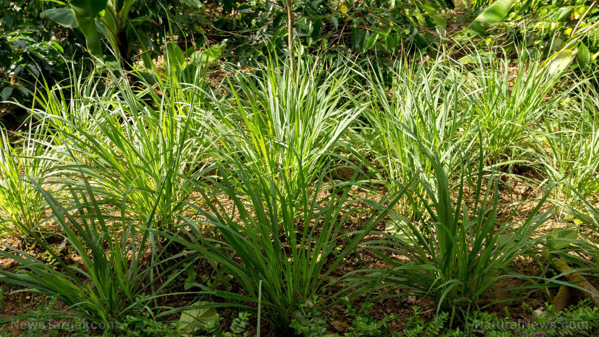 Image: How to use and plant lemongrass, a powerful medicinal plant