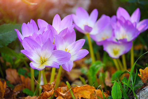 Image: Evaluation of Colchicum autumnalis (Rhazes) as a natural treatment for low back pain