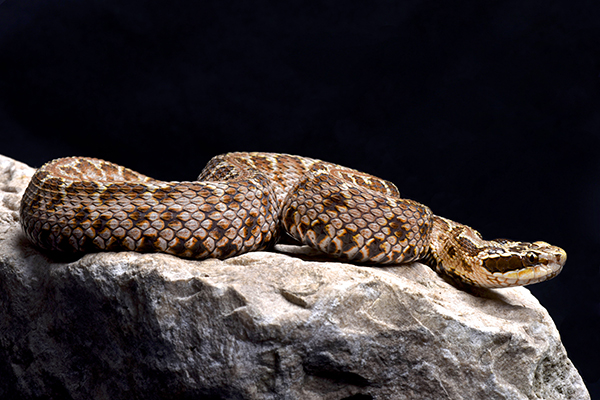 Image: Researchers discover venom of the Siberian pit viper offers heart benefits