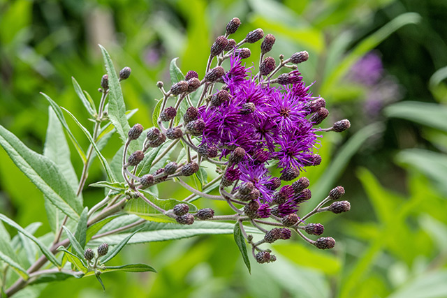 Image: How to identify and grow ironweed, a medicinal plant