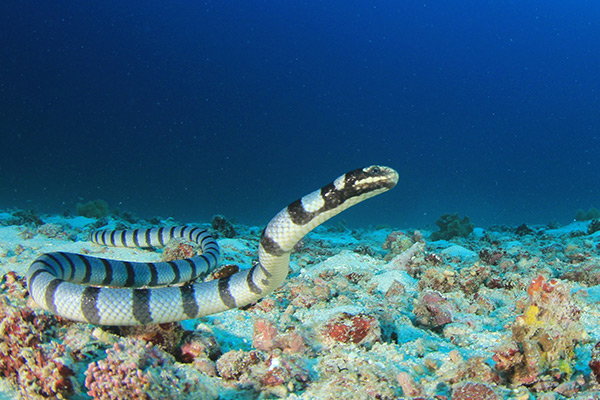 """Image: Amazing aquatic life: Blue-banded sea snakes """"breathe"""" through their heads"""