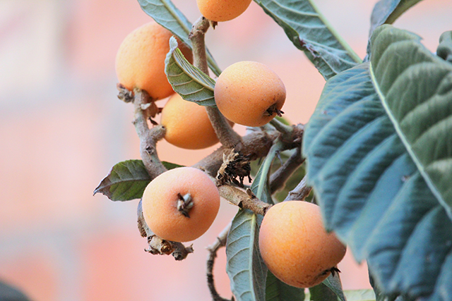 Image: Investigating the anti-diabetic properties of Eriobotrya japonica (loquat)