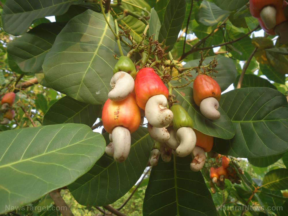 Image: Researchers identify the compounds responsible for Anacardium occidentale's (cashew) anti-asthma effects
