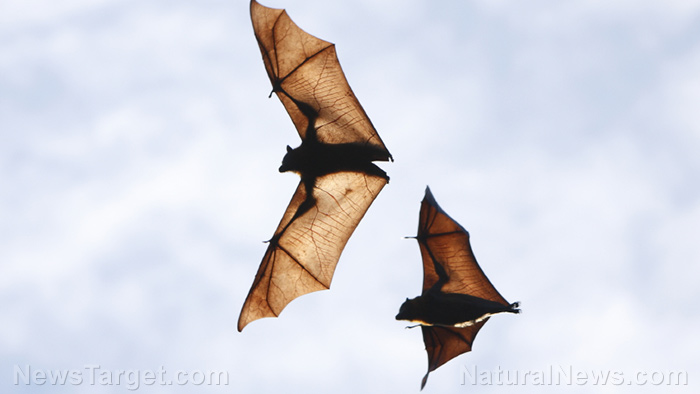 Image: Bats can anticipate their prey's movements by building predictive models on the fly, says new study