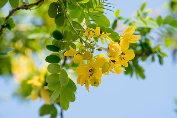 Local cassia tree in Thailand can help dissolve dangerous blood clots