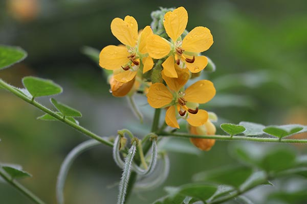 Image: Anti-malarial potential of Senna occidentalis leaves