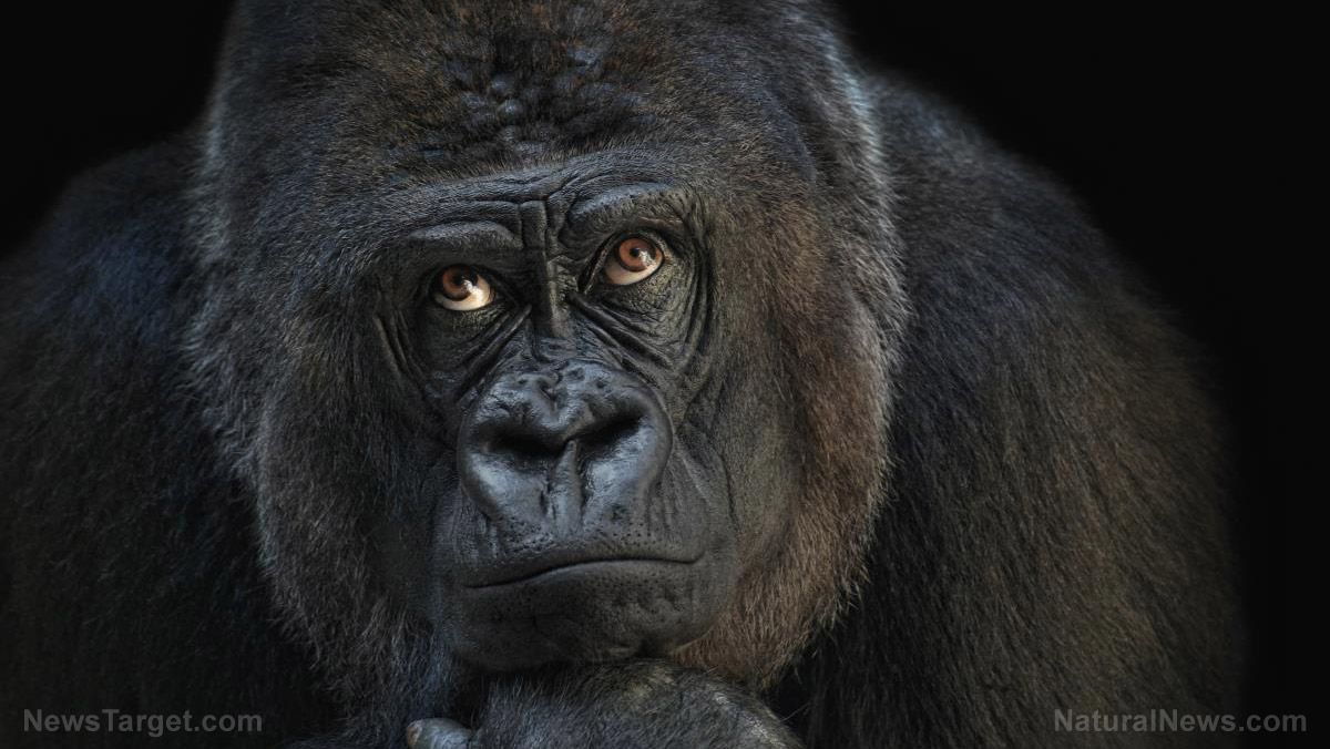 Image: Now they're vaccinating gorillas at the zoo for coronavirus