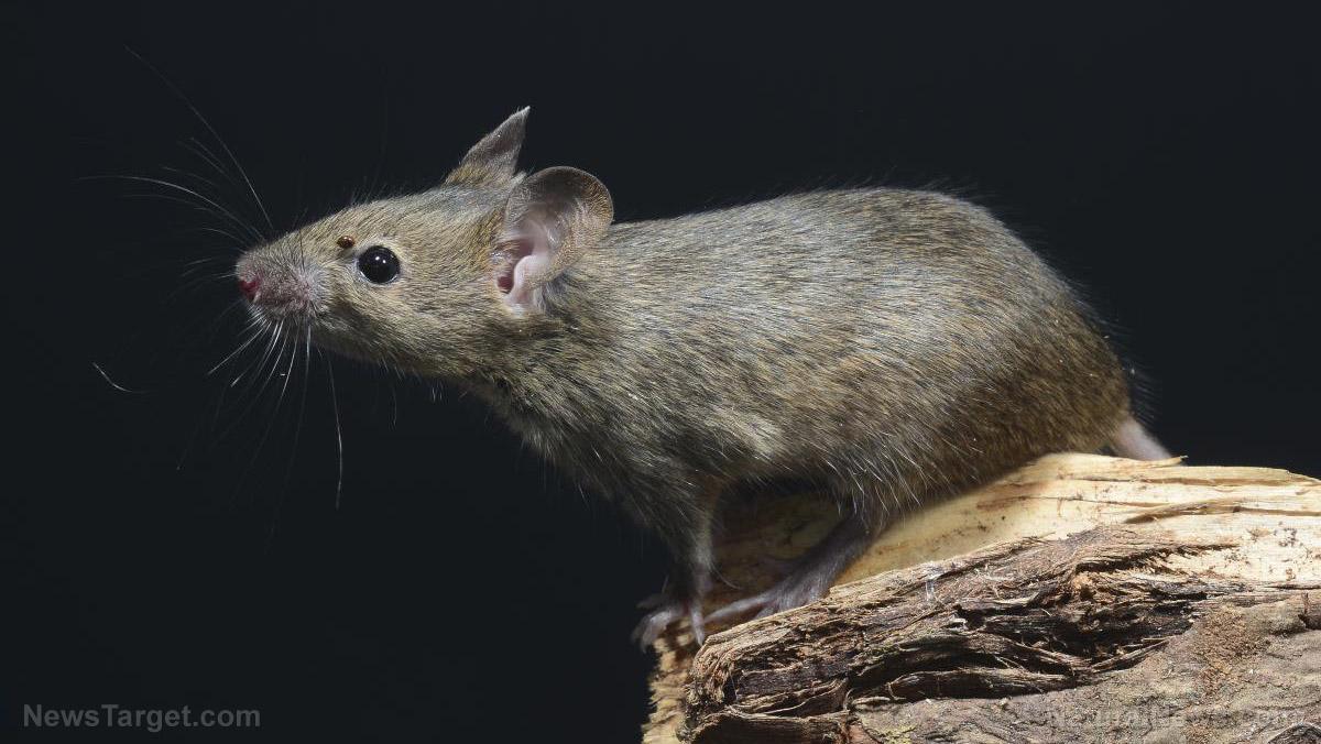 Plague of mice strikes eastern Australia - NaturalNews.com