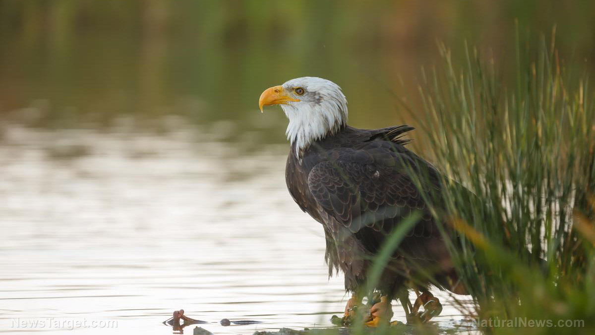 Bald-Eagle-Lake More than 80% of bald and golden eagles in the US have RAT POISON in their systems, study shows Environment Featured Top Stories [your]NEWS