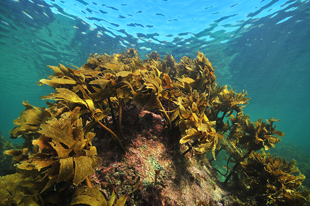 "Image: Researchers use ""ocean elevators"" to grow giant sea kelp – a promising source of biofuel"