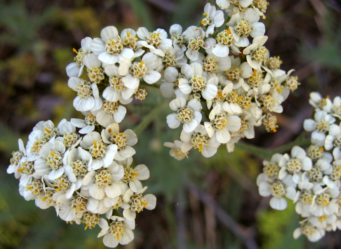 Homegrown medicine: Local yarrow from the Middle East shown to have gastroprotective properties